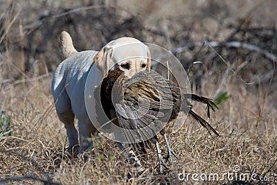 Labrador retrieving pheasant