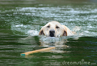 Labrador Retrieving Stick in Water