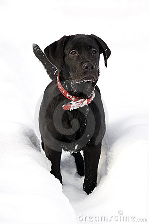 Labrador retriver -black puppy in deep snow