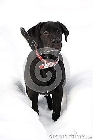 Labrador retriver -black puppy in deep snow