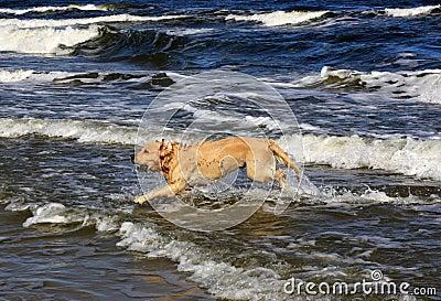 Labrador in the sea