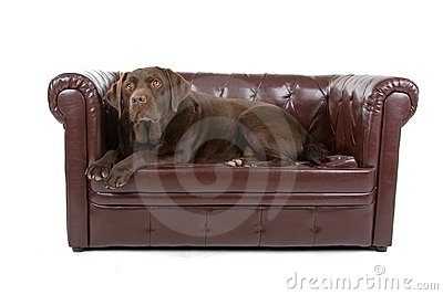 Labrador on sofa