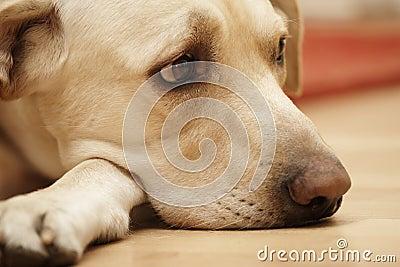 Labrador triste