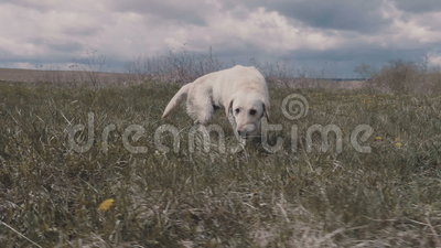 Labrador trząść daleko po skoku w wodę zdjęcie wideo