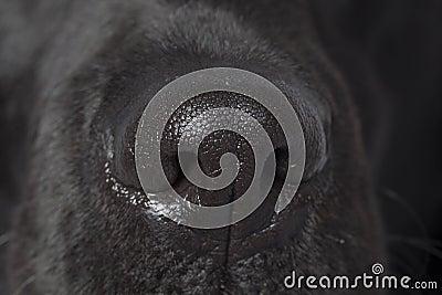 Labradors nose