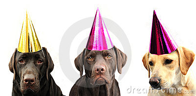 Labradors in party hat