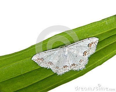 Lace Border Moth -  Scopula ornata