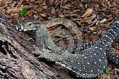 Lace Monitor (Lace Goanna) (Varanus varius) Lizard