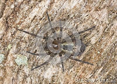 Lace webbed spider (Amaurobius fenestralis )