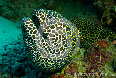 Laced moray eel