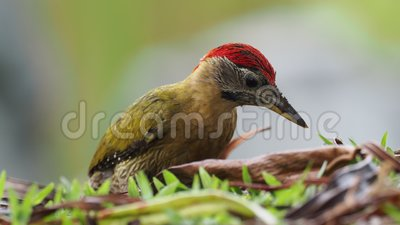 Laced woodpecker - picus vittatus species of bird in the family Picidae, throughout Southeast Asia in Cambodia, China, Indonesia. Laos, Malaysia, Myanmar stock footage