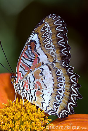 Free Lacewing Butterfly Royalty Free Stock Photos - 7280148