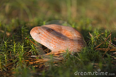 Lactarius delicious mushroom