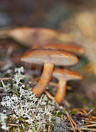 Lactariusrufus