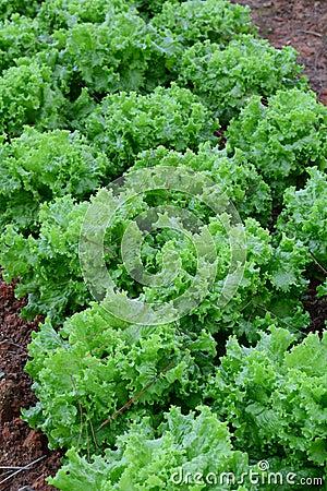 Free Lactuca Sativa Plants In Field Stock Image - 67601041