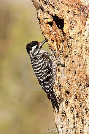 Free Ladder Backed Woodpecker Stock Images - 19250884