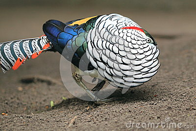 Lady Amherst s pheasant