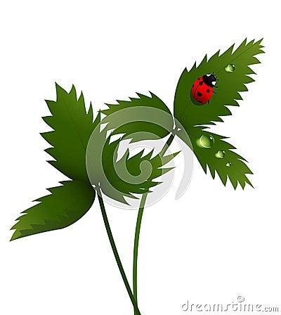 Lady bird on a leaf