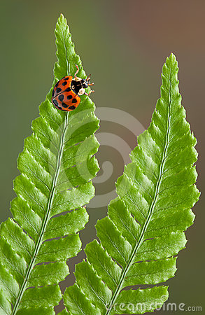 Lady bug on fern