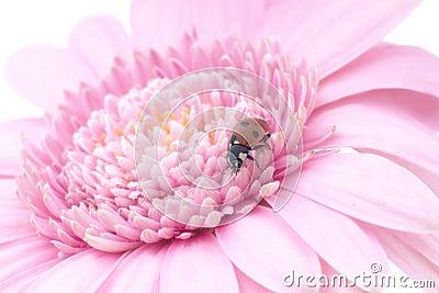 Lady bug pink gerbera