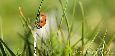 Lady bug in a spring garden