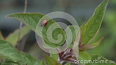 Lady Bug Sulla Foglia Di Pianta archivi video