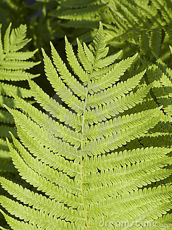 Free Lady Fern Frond Royalty Free Stock Photography - 14658617