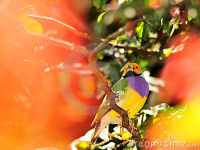 Lady Gouldian Finch Bird