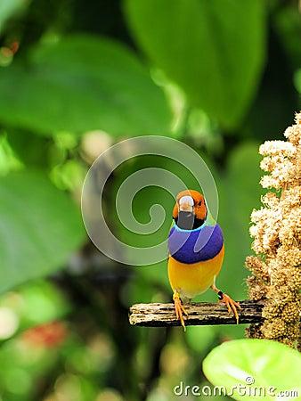 Lady Gouldian finch bird