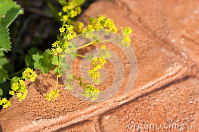 Lady s mantle (Alchemilla vulgaris)