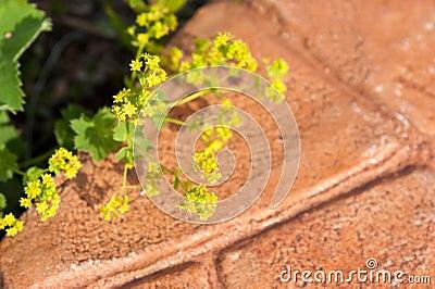 Lady s mantle (Alchemilla vulgaris)