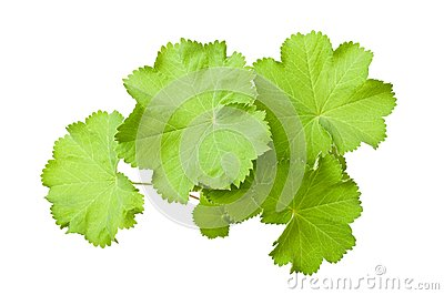 Lady s Mantle