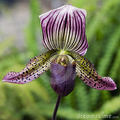 Free Lady S Slipper Orchid Stock Photo - 7406580