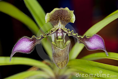 Lady s Slipper Orchid