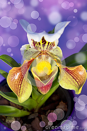 Lady s slipper orchid Isolated