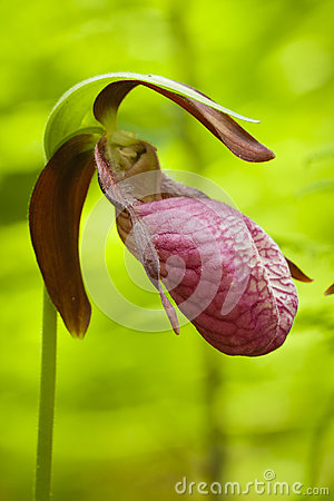Lady s Slippers