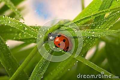 Ladybird влажный