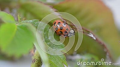 Ladybird имея мытье и чистит щеткой вверх акции видеоматериалы
