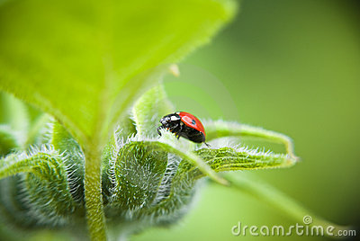 Ladybird beetle on green