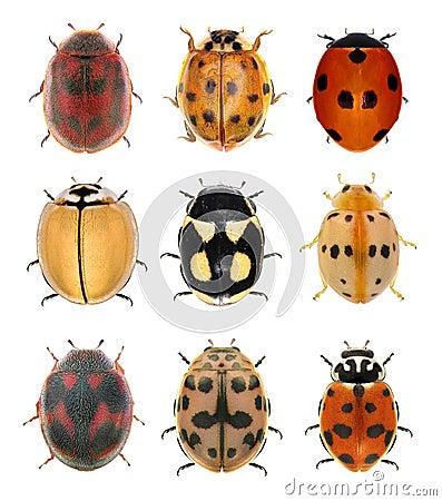 Free Ladybird Beetles Stock Photos - 132511253