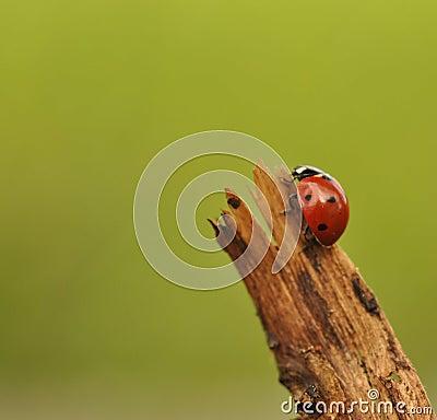 Ladybird on branch