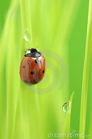 Ladybird Crawling on Green Grass with Rain Drops