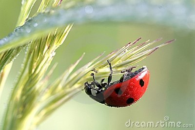 ladybird on a grass with dew drops