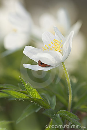 Free Ladybird Hiding In Wood Anemone (Anemone Nemorosa) Stock Photography - 19578812