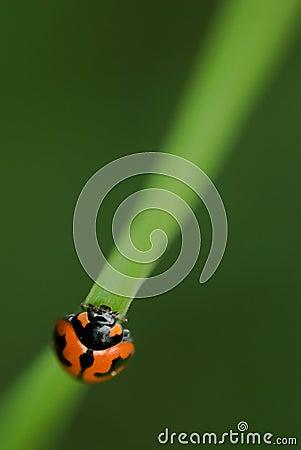 Ladybird/ladybug macro