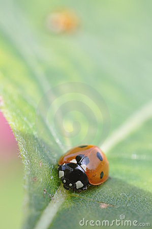 Ladybird on a leaf