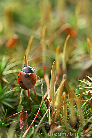 Ladybird on moss