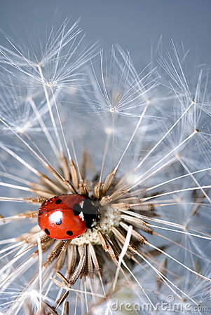 Free Ladybird On A Dandelion Stock Image - 10519031