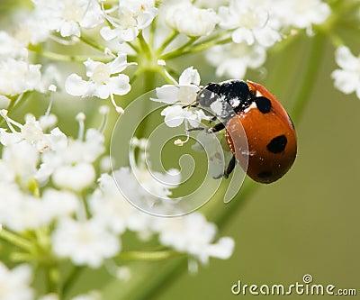 Ladybird in pollen
