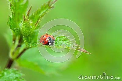 Ladybird in rain